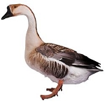Brown Chinese Geese
