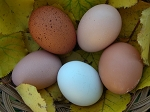 Easter Egger Hatching Eggs