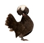 White Crested Black Polish Chicken