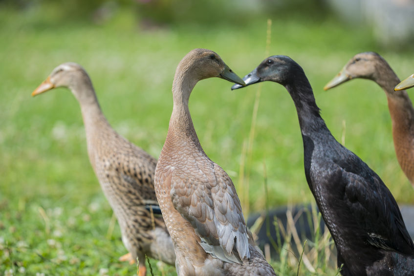 Indian Runner Ducks- A Favorite Backyard Duck Breed!