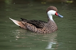 Bahama Pintail Duck Pair