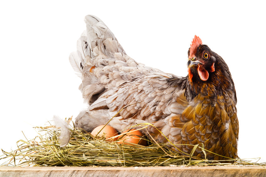 Backyard Chicken Terms- What is a Broody Chicken?