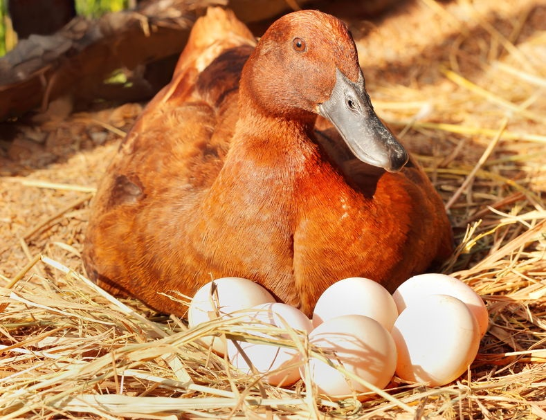 Duck Hatching Eggs for Sale