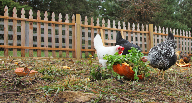 Feeding Vegetables to Backyard Chickens