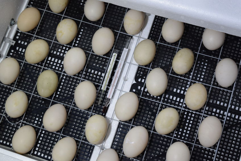 Incubator Temperature Guidelines for Hatching Eggs