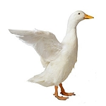 Ducks for Sale   Buy as Few as 3 Ducks   Safe Arrival Guarantee