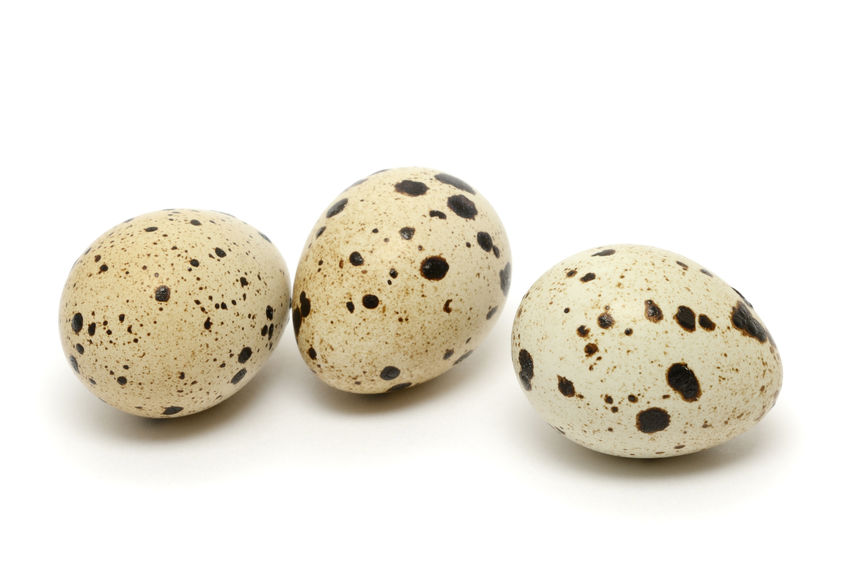 Quail Hatching Eggs for Sale