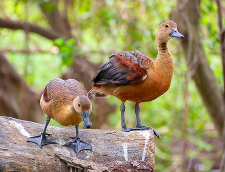 Ringed Teal Duck Pair