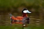 North American Ruddy Duck Pair