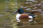 North American Shoveler Duck Pair
