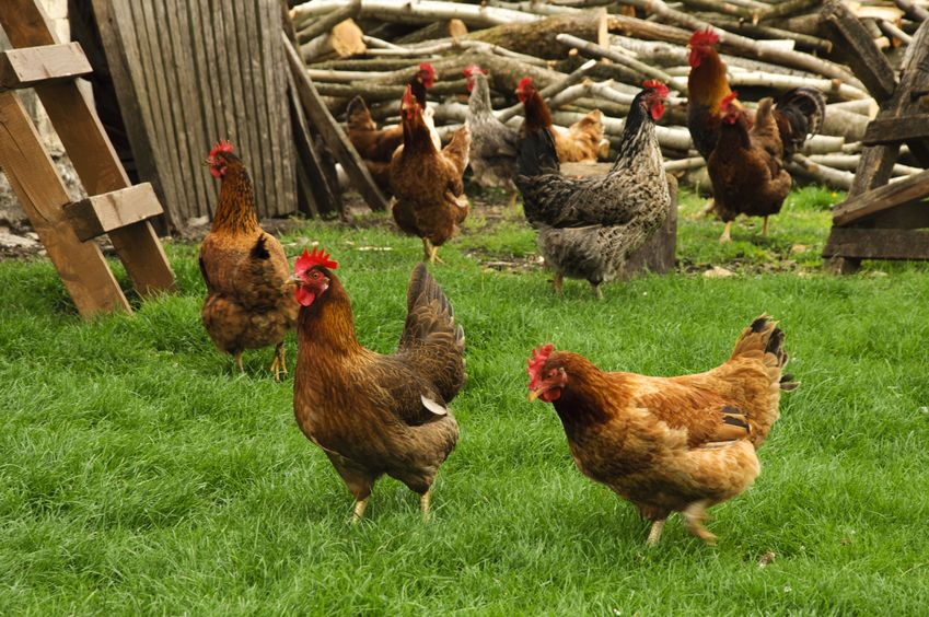 Best Summertime Chicken Breeds