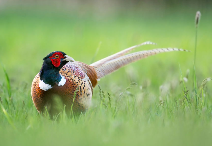 Raising Pheasants