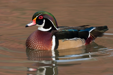 Wood Ducks for Sale | Safely Shipped Anywhere in the USA